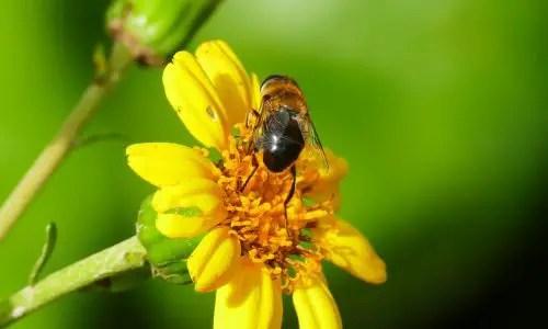 Schwarze Kanarische Biene