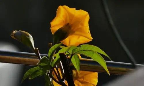 Blüte der Holzrose