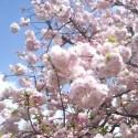 桜 造幣局の通り抜け