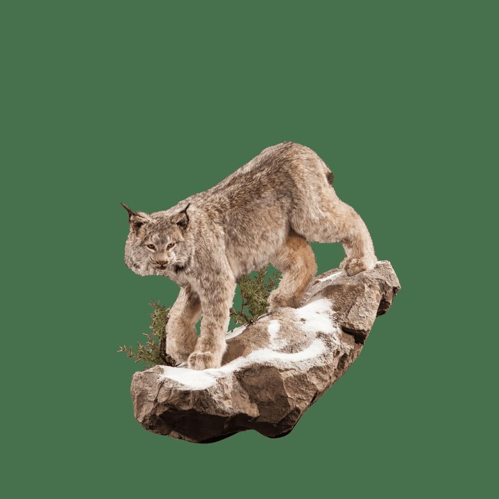 Lynx on stone mount