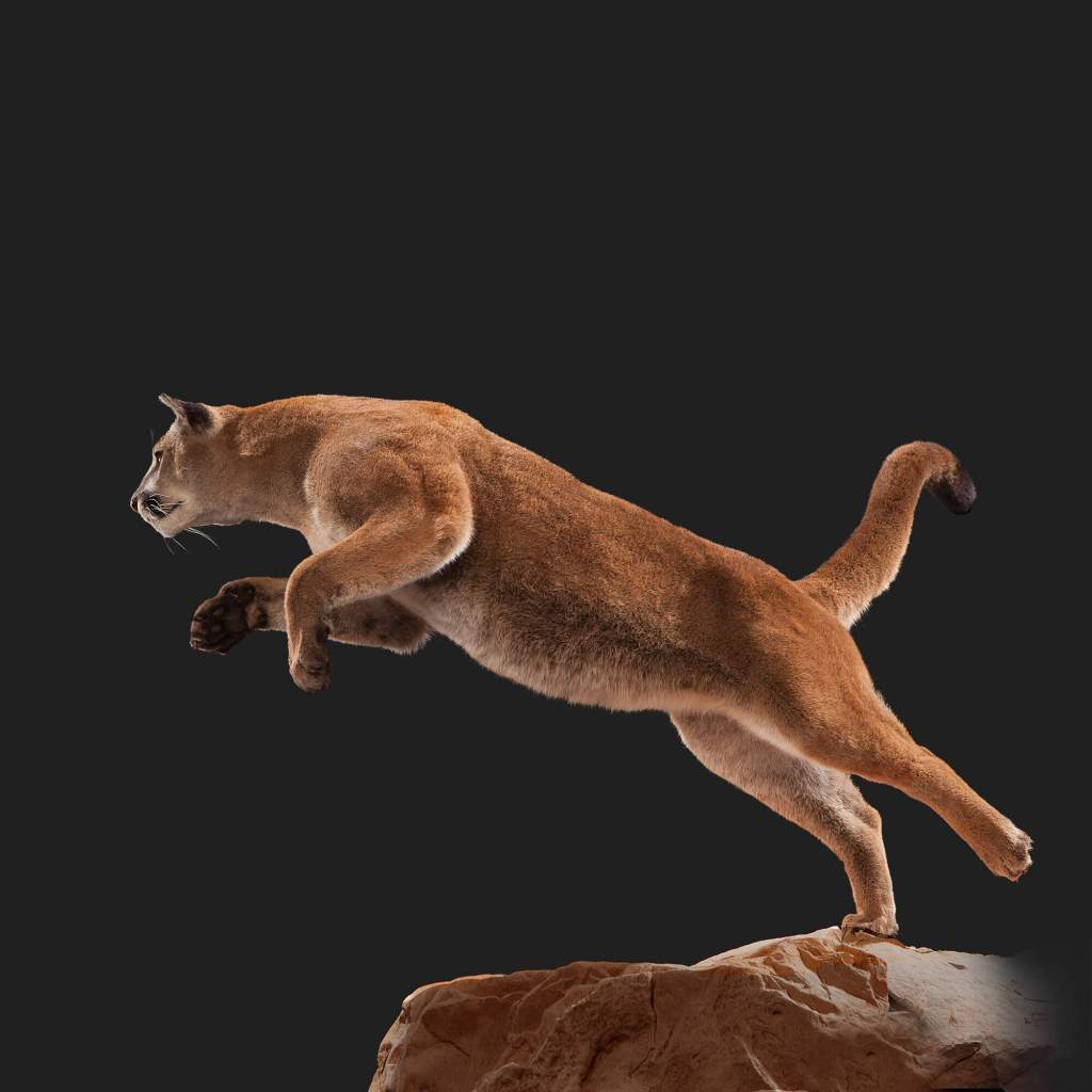 Mountain lion cougar side view