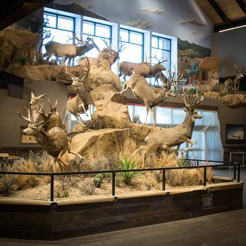 Mule deer and mountain lion full display
