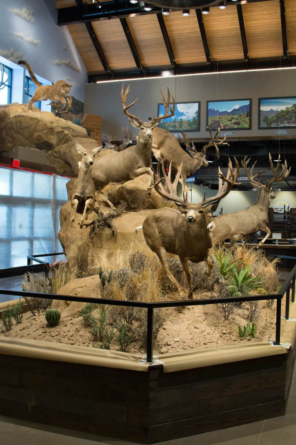 Mule deer and mountain lion display