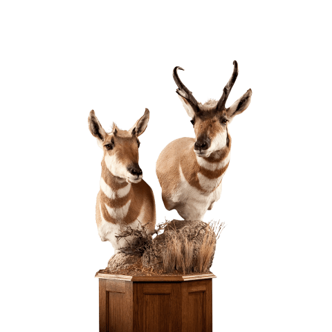 Antelope pedesatl mount taxidermy