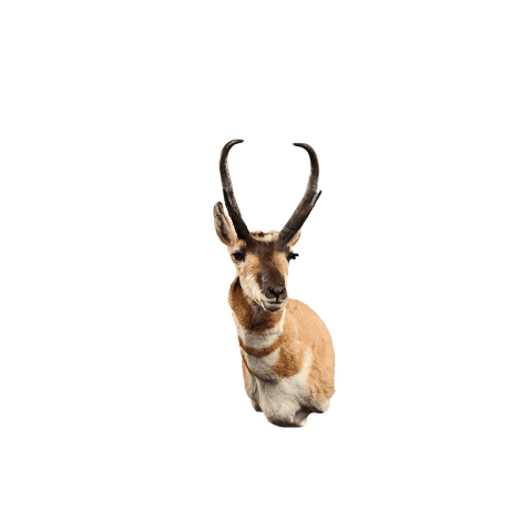 Antelope shoulder mount