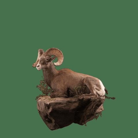 LIfesize bighorn sheep mount
