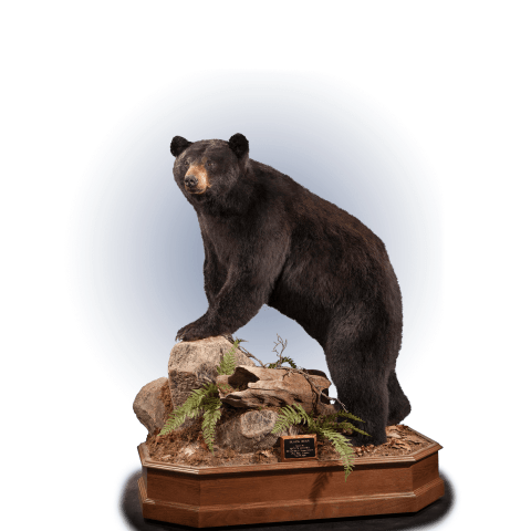 black bear life size mount on rocks