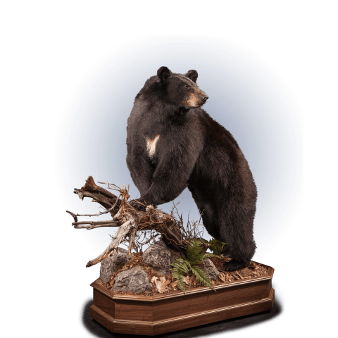 black bear perched on a branch taxidermy