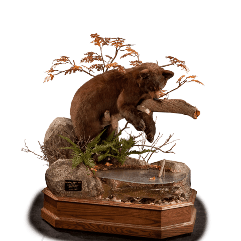 black bear on a branch hunting fish