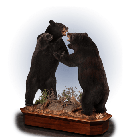 two fighting black bears taxidermy