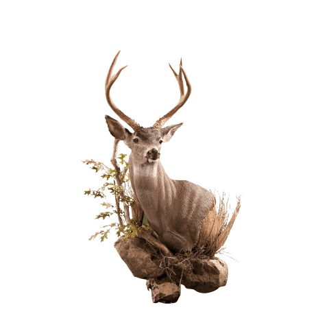 Blacktail wall pedestal taxidermy