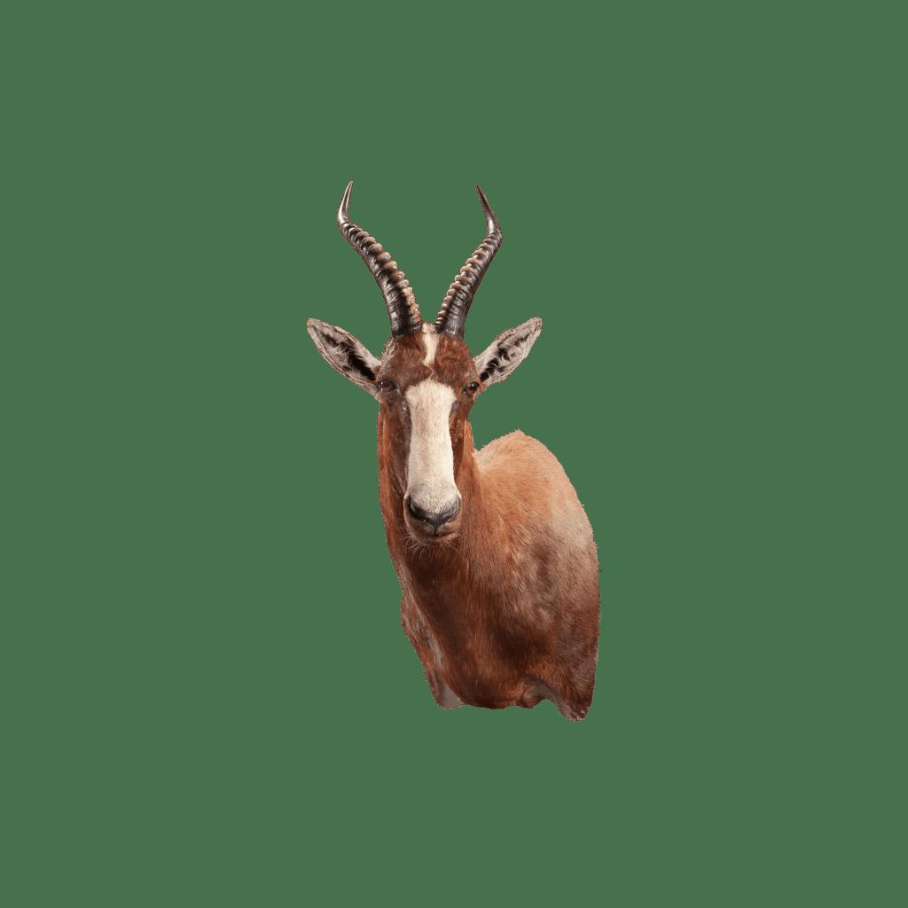blesbok shoulder mount