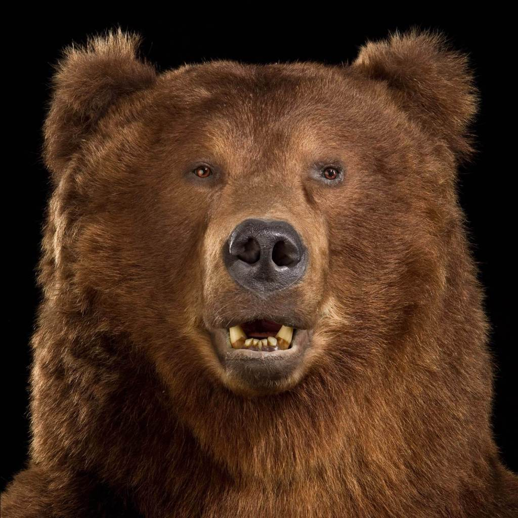 Brown bear taxidermy close up of face