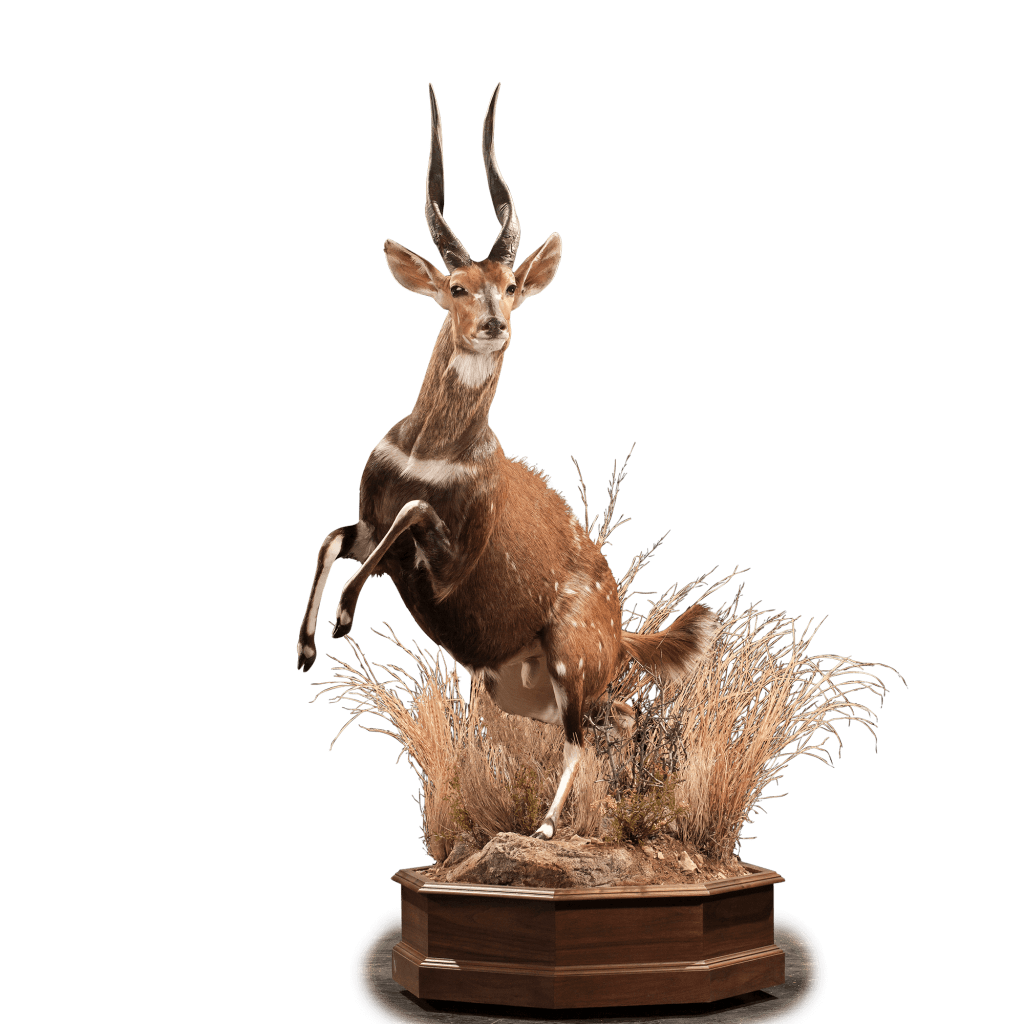 jumping bushbuck full size mount
