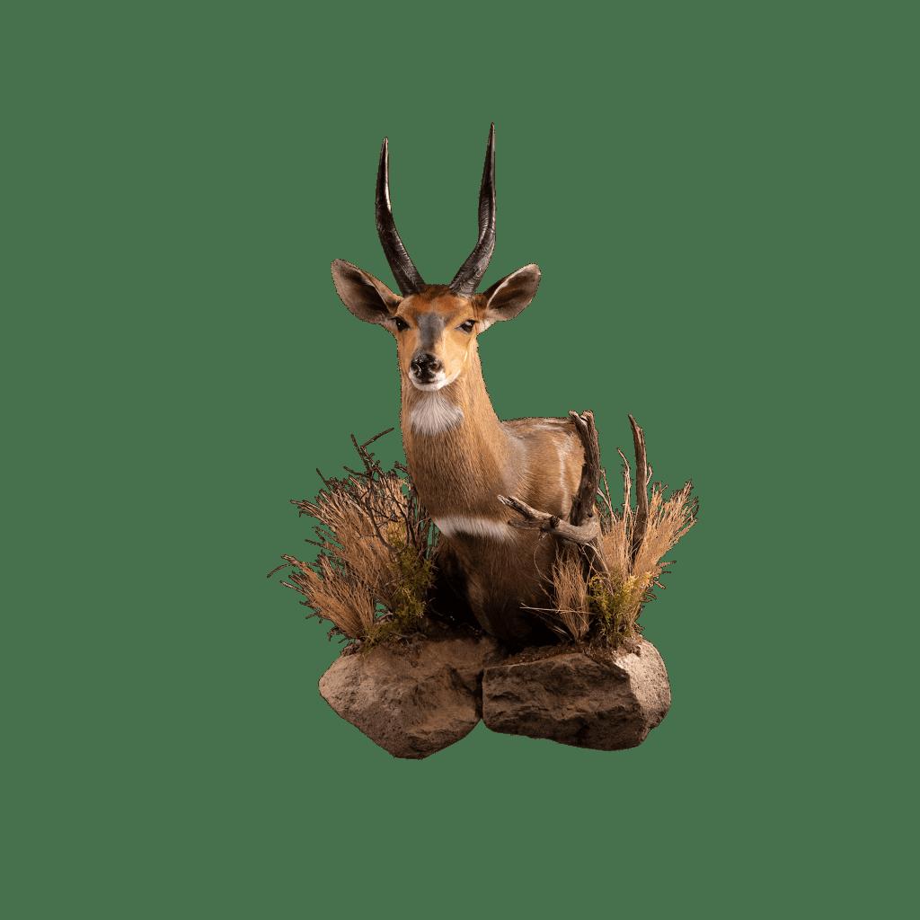 bushbuck shoulder mount