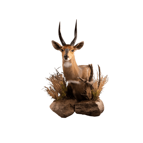 bushbuck shoulder mount
