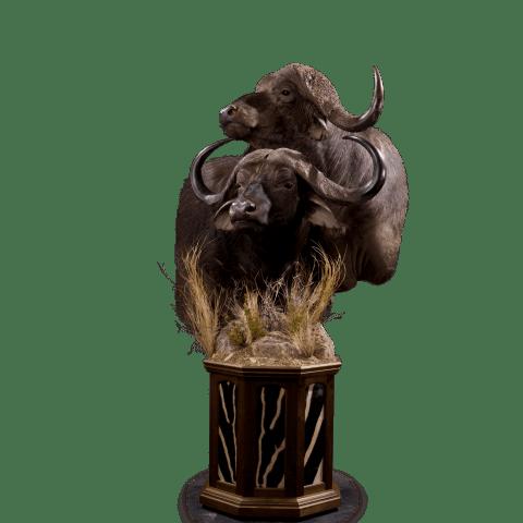 two cape buffalo pedestal