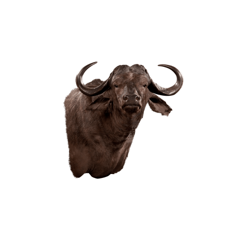 cape buffalo shoulder mount