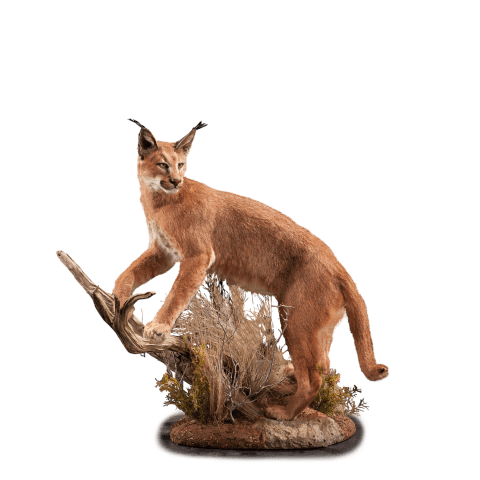 caracal on a branch mount