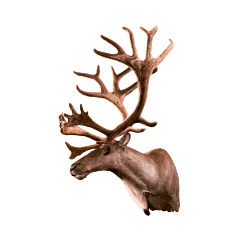 Caribou shoulder mount side view