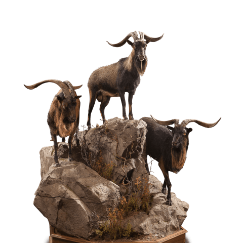 four catalina goats taxidermy