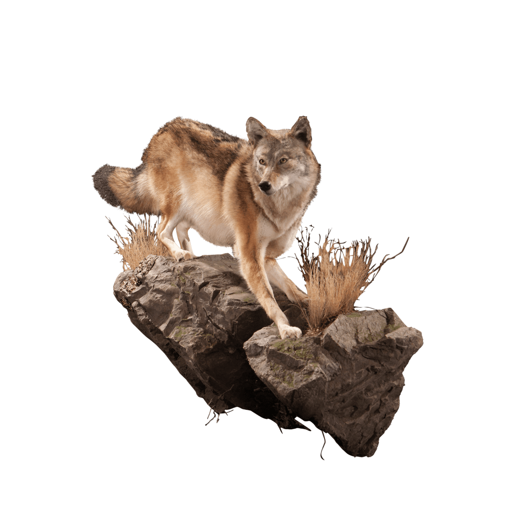 Coyote on rock
