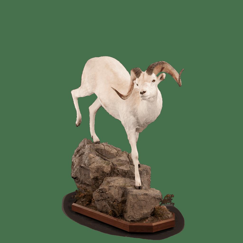 Dall sheep on rocks taxidermy