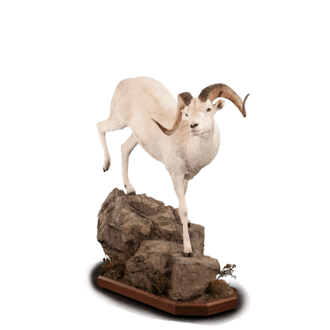 Dall sheep on rocks taxidermy