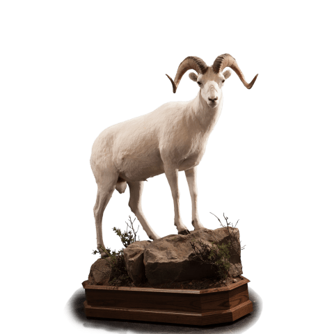 Dall sheep stands on rock