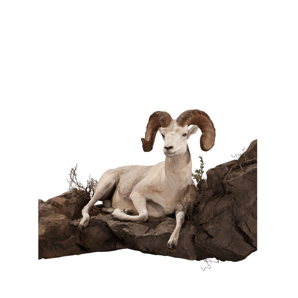 Dall sheep resting on rocks taxidermy