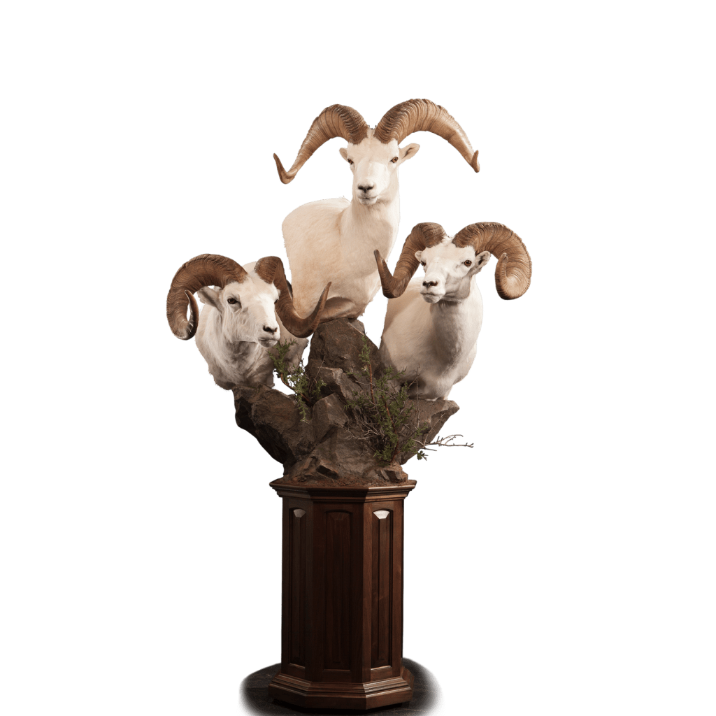 Three dall sheep taxidermy