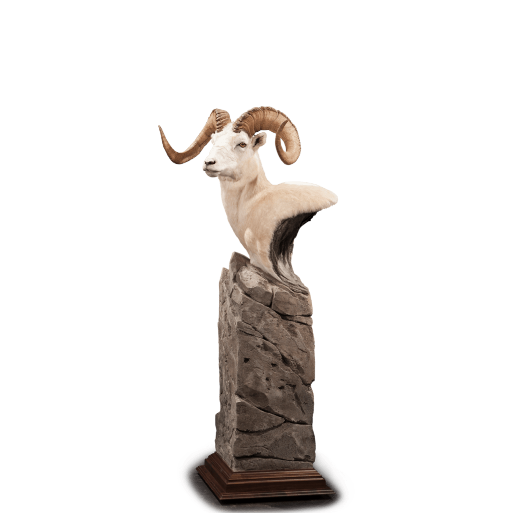 Dall sheep taxidermy pedestal
