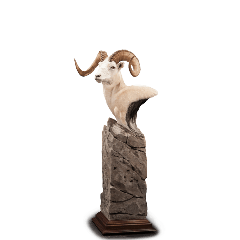 Dall sheep taxidermy pedestal