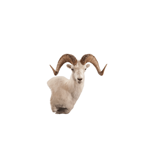 Right profile sheep shoulder mount