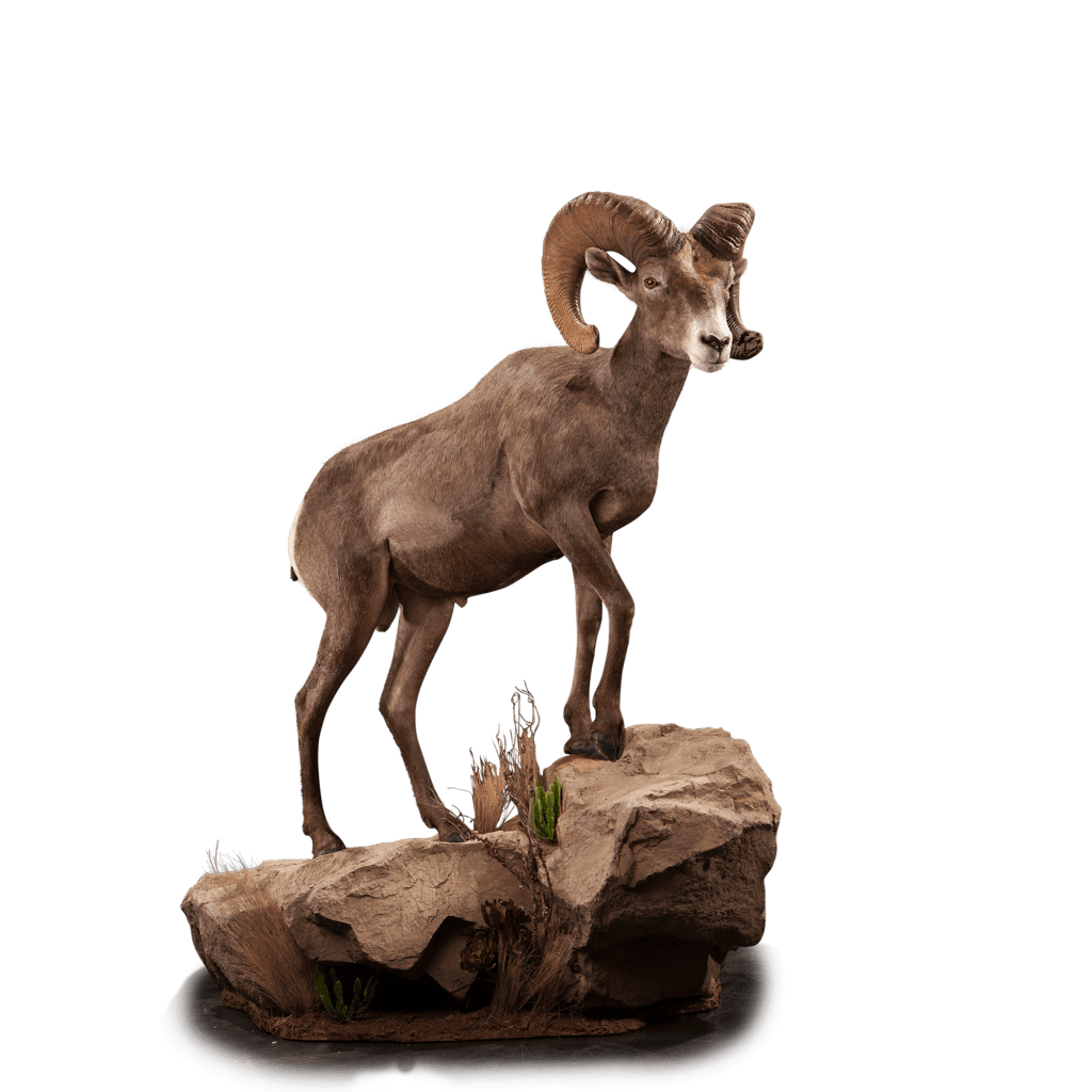 Desert sheep poses on rock taxidermy