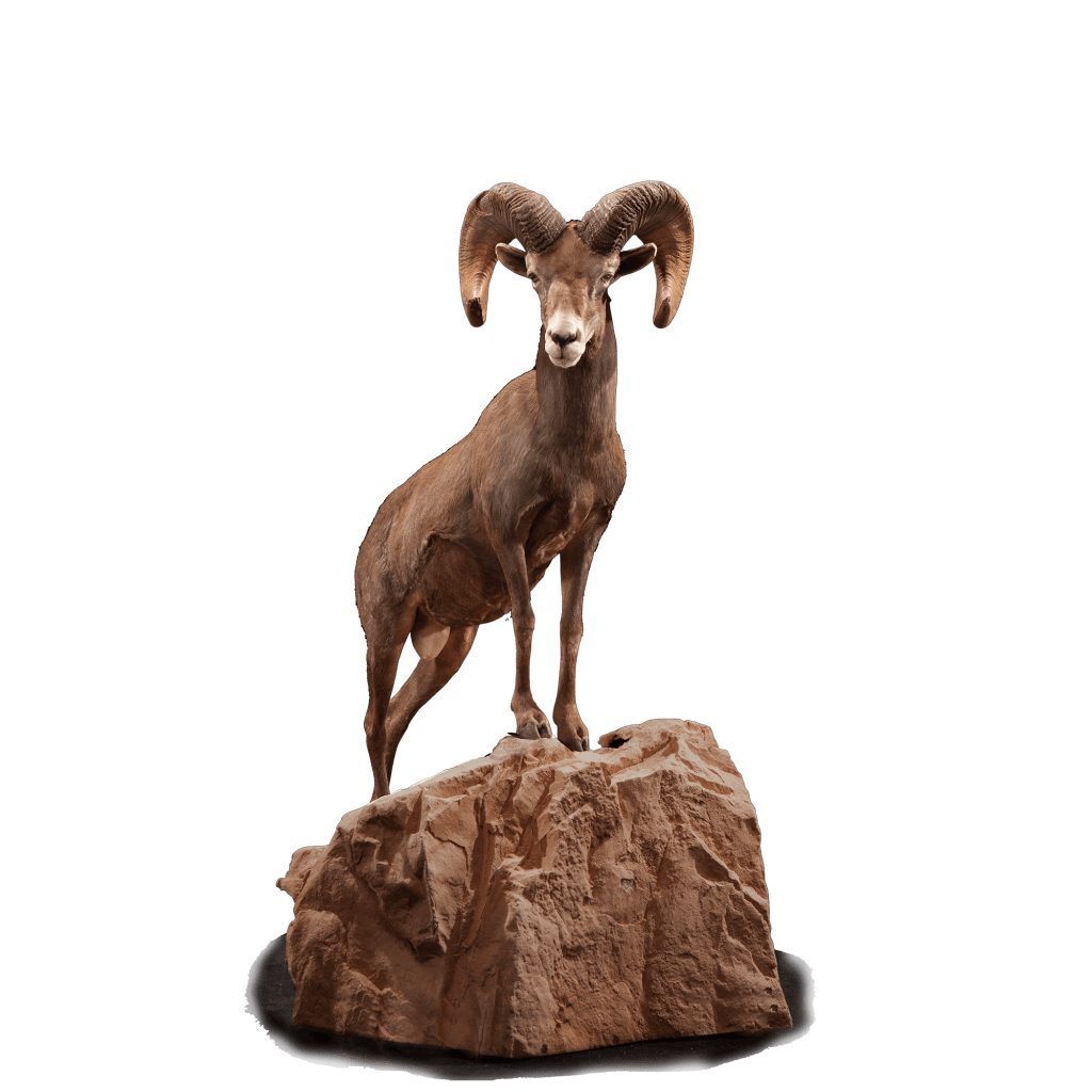 Tall desert sheep on rock taxidermy