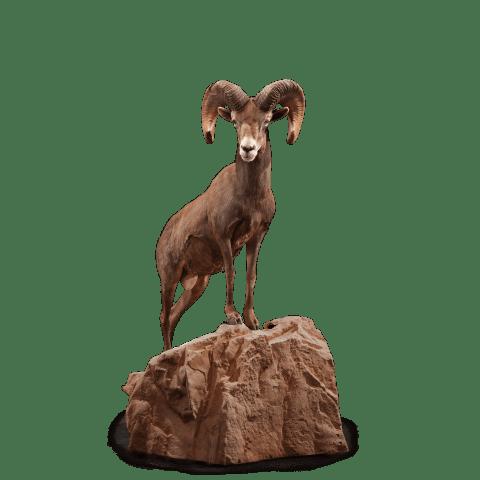 Tall desert sheep on rock taxidermy