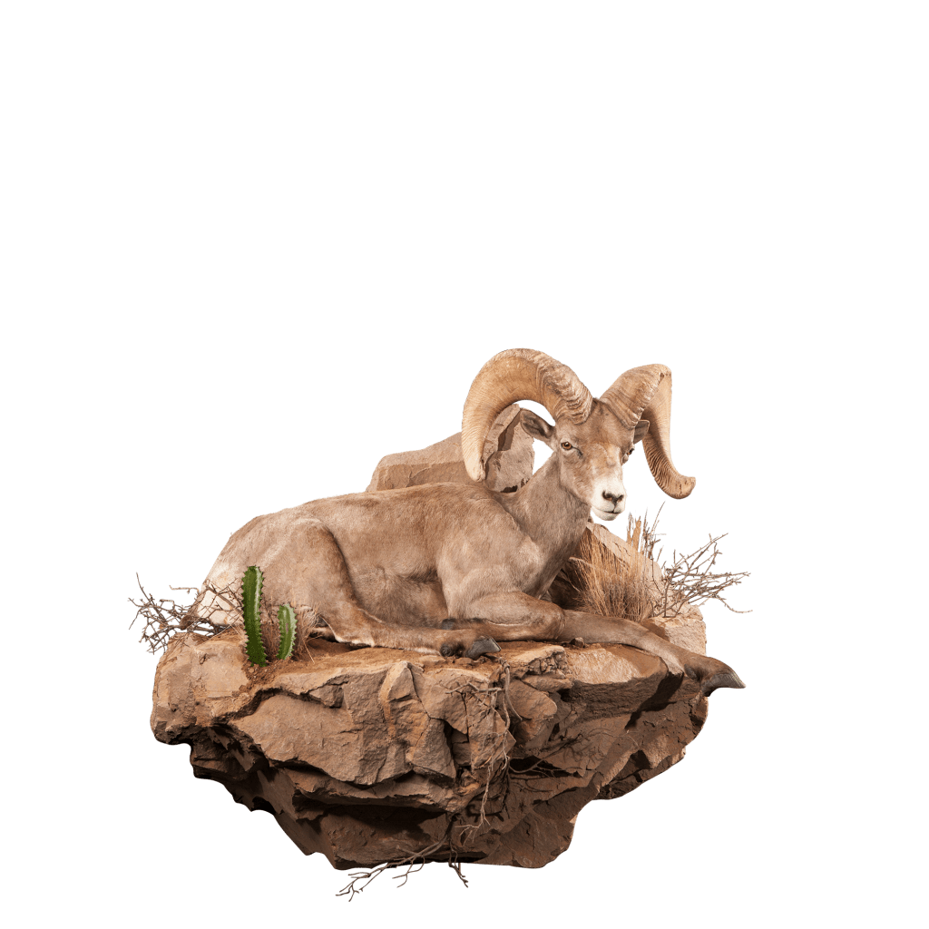 Desert sheep sits on rocks taxidermy