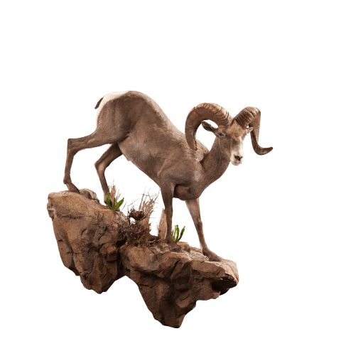 One desert sheep on rock taxidermy