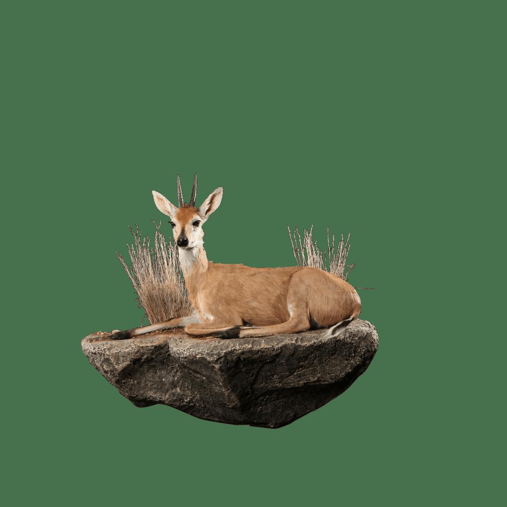 resting duiker life size mount