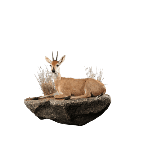 resting duiker life size mount