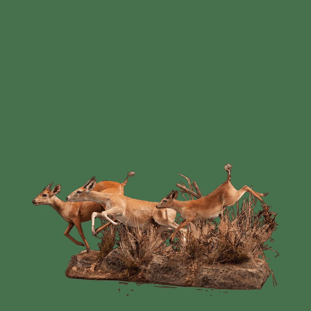 running duiker life size mount