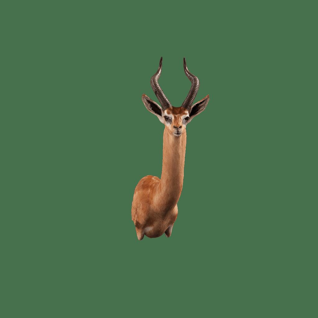 gerenuk shoulder mount