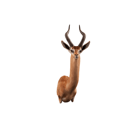 gerenuk shoulder mount