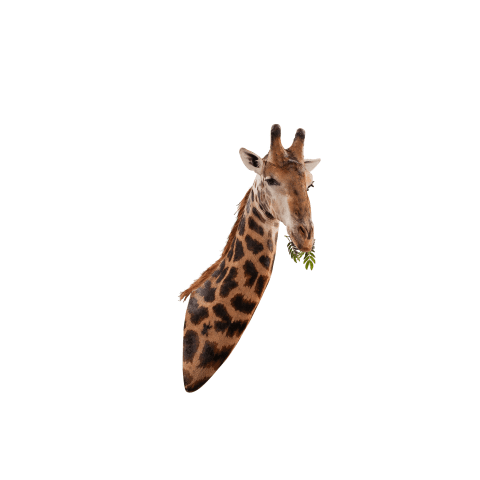 giraffe shoulder mount
