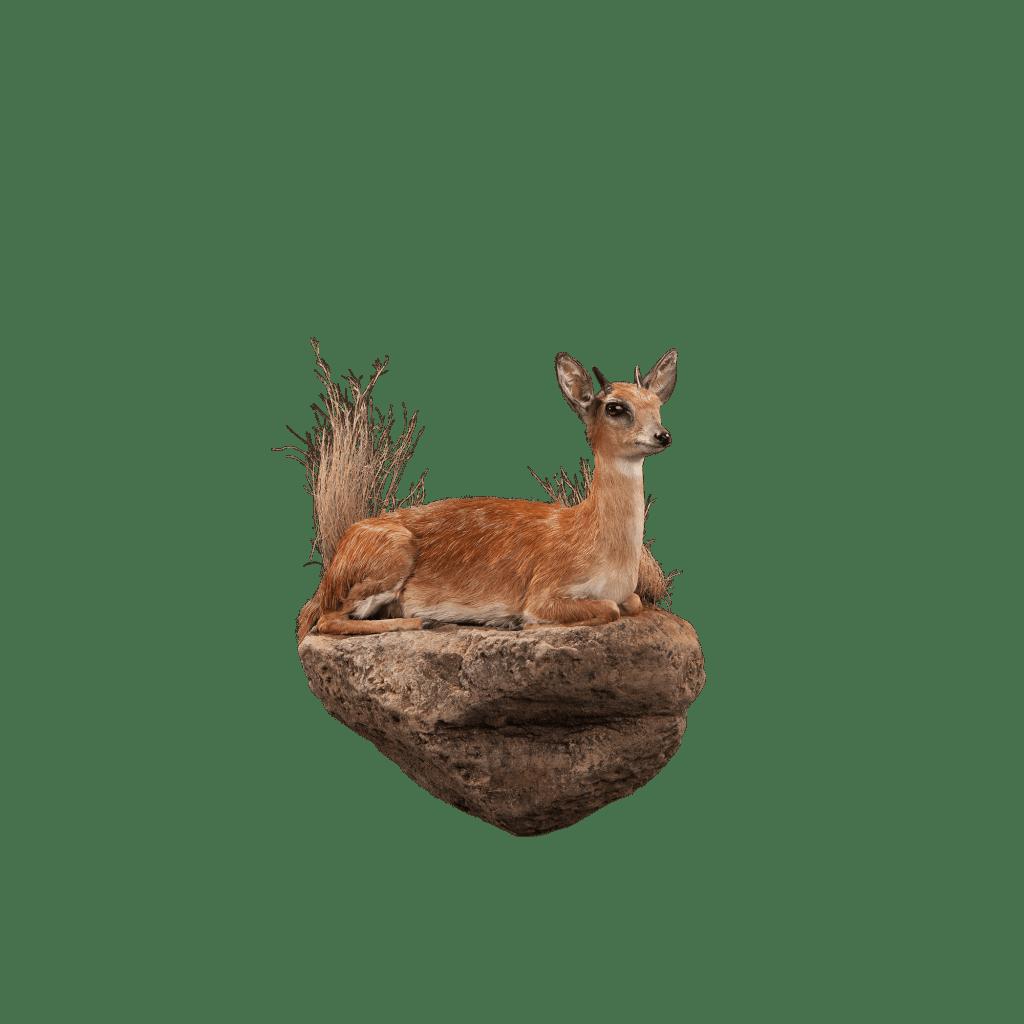 grysbok life size mount