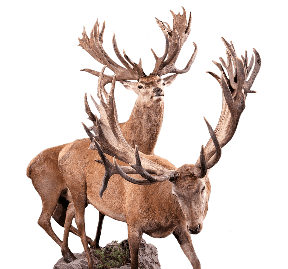 Taxidermy red deer from New Zealand