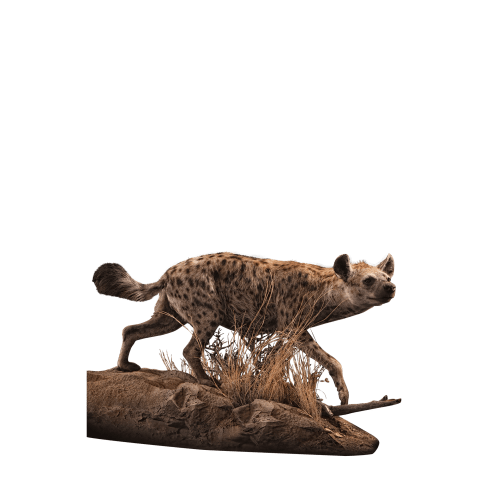 hunting hyena taxidermy mount
