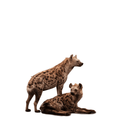 two hyenas taxidermy
