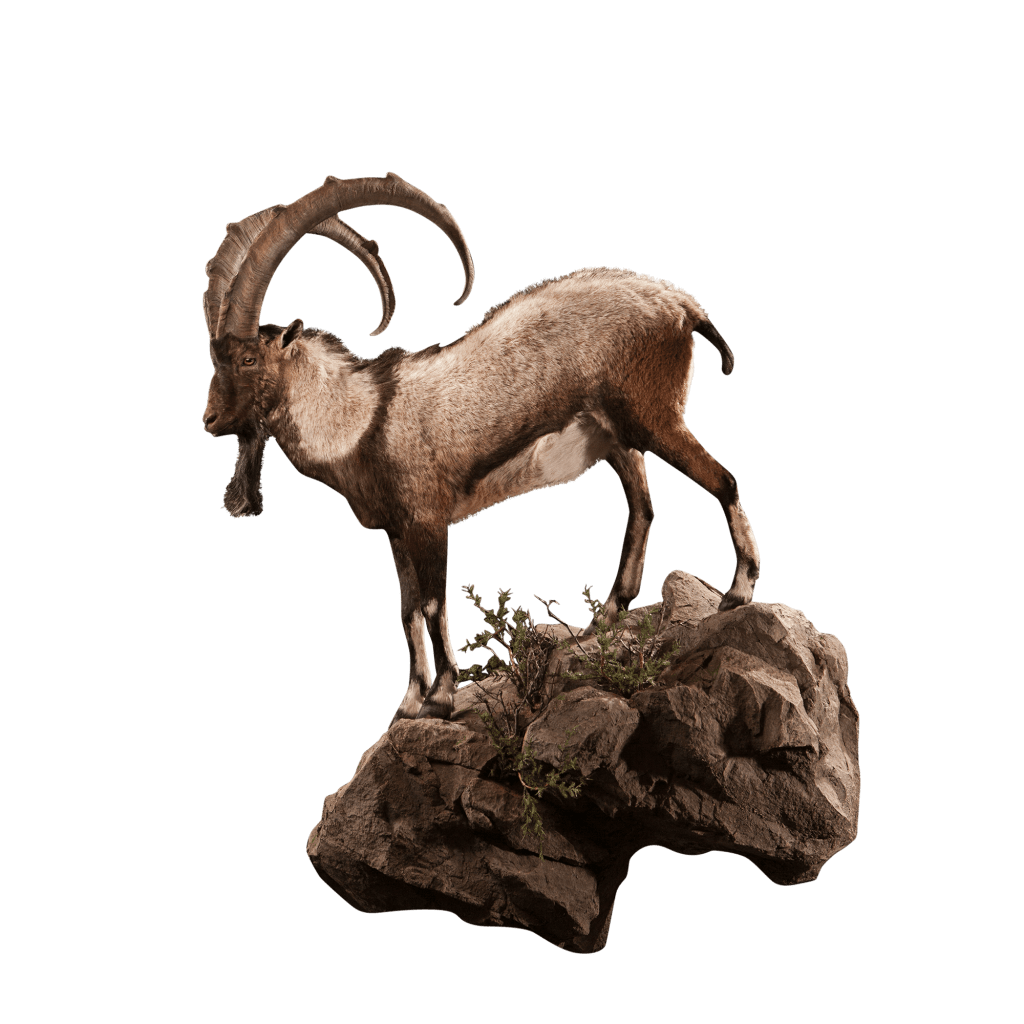 life size ibex taxidermy